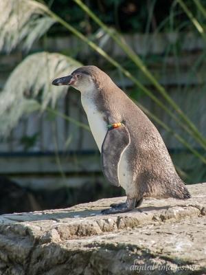 081012--Humboldt-Penguins--05.jpg