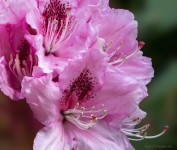 More Rhododendron Close-ups