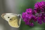 Buddleia Whites
