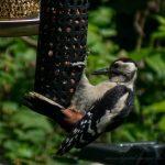Great Spotted Woodpecker on Nut Feeders