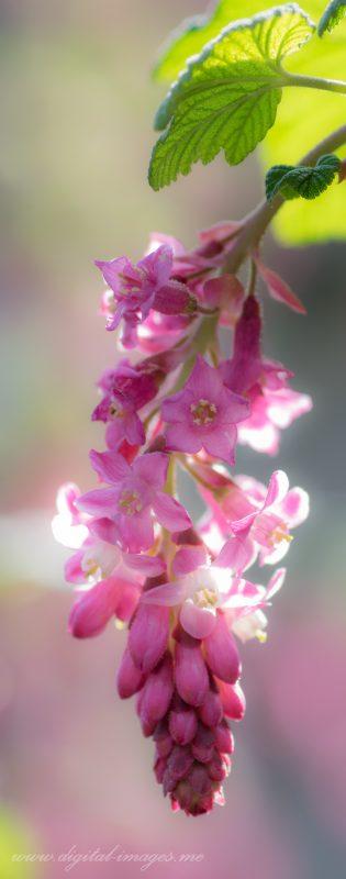 Flowering Currants